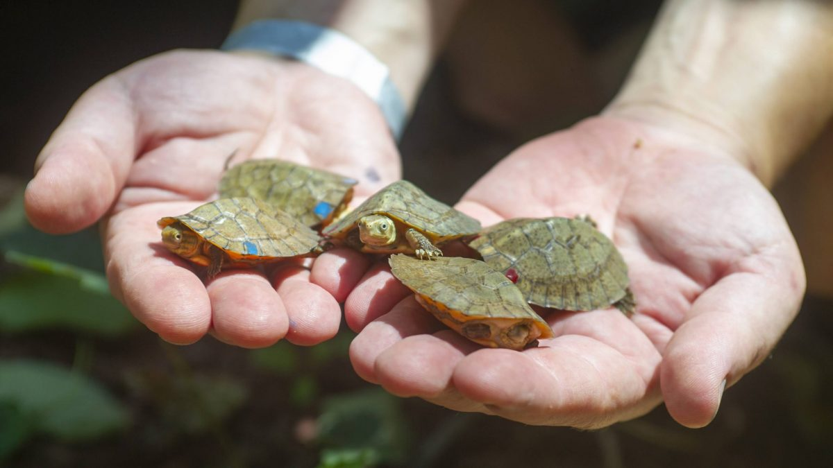 hands holding five baby turtles