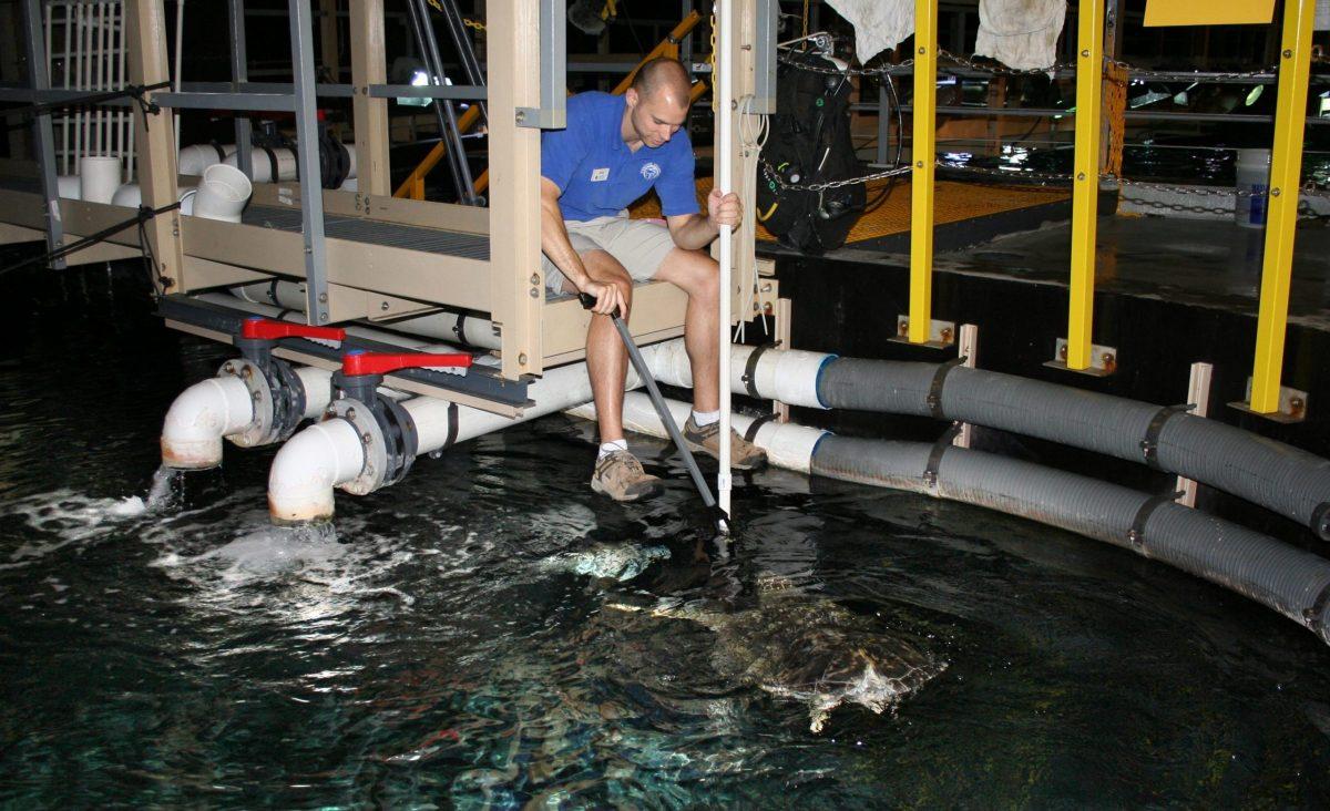 Aquarist feeding sea turtle