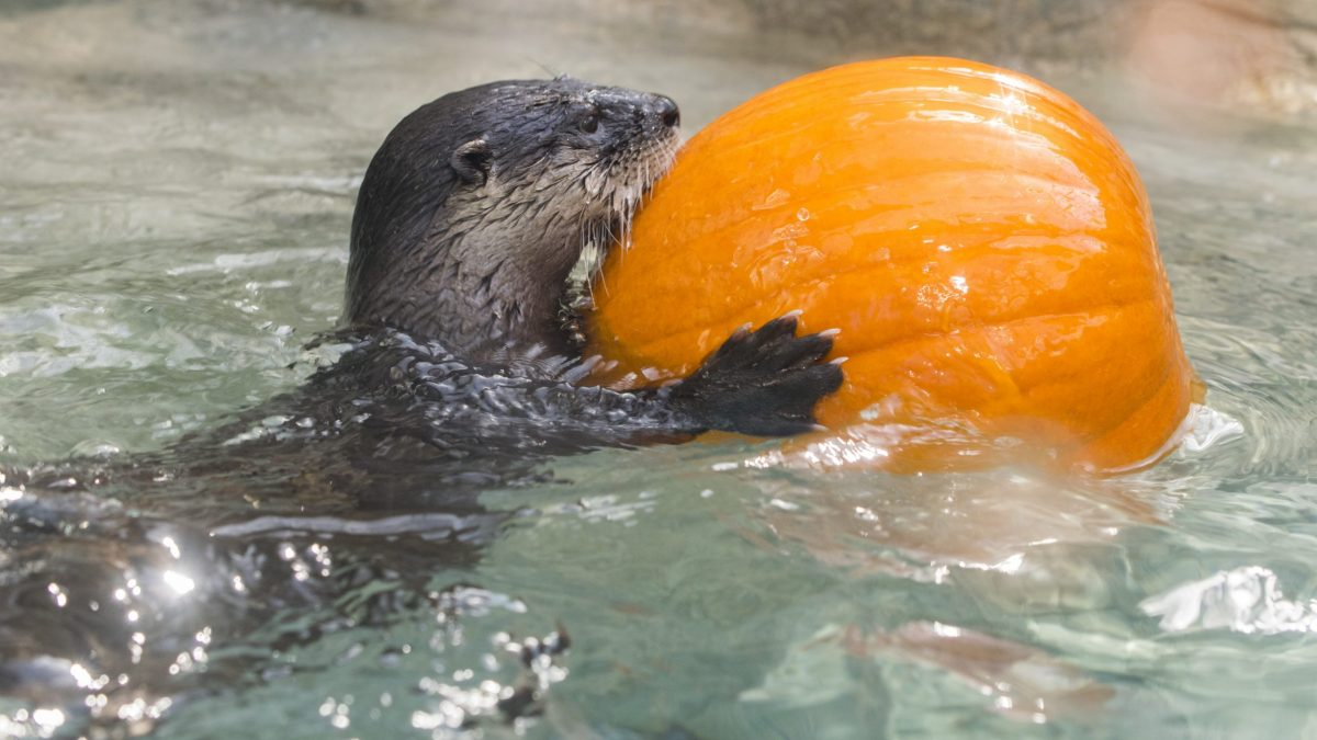 river otter with pumpkin