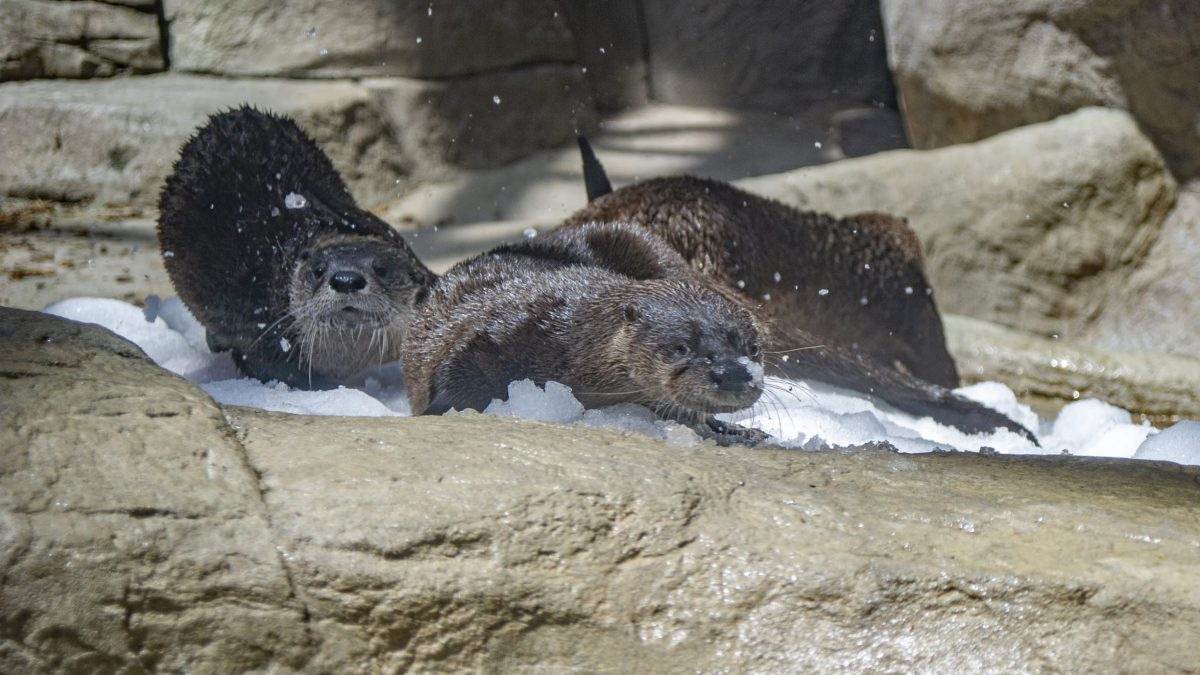 river otters playing in snow