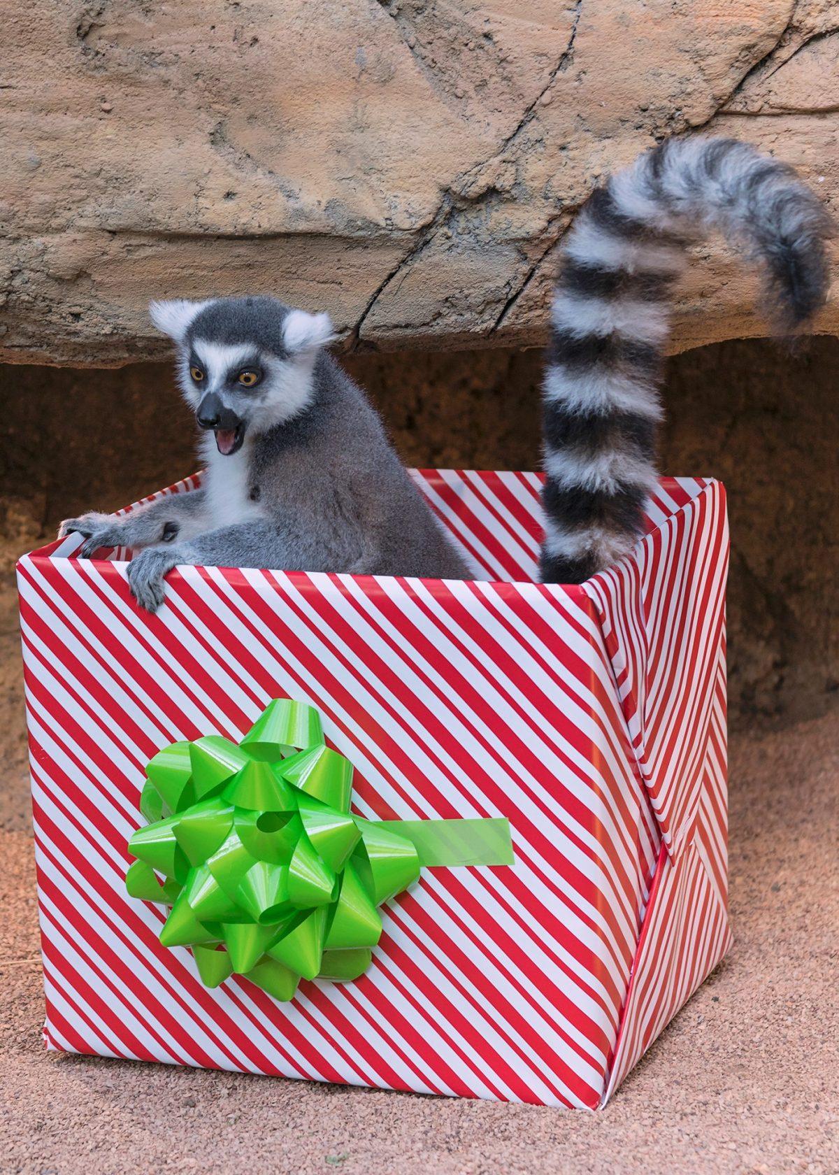lemur sitting inside large, gift wrapped card board box