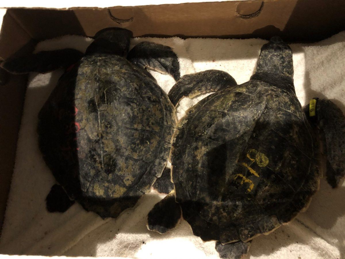 young sea turtles in transport box