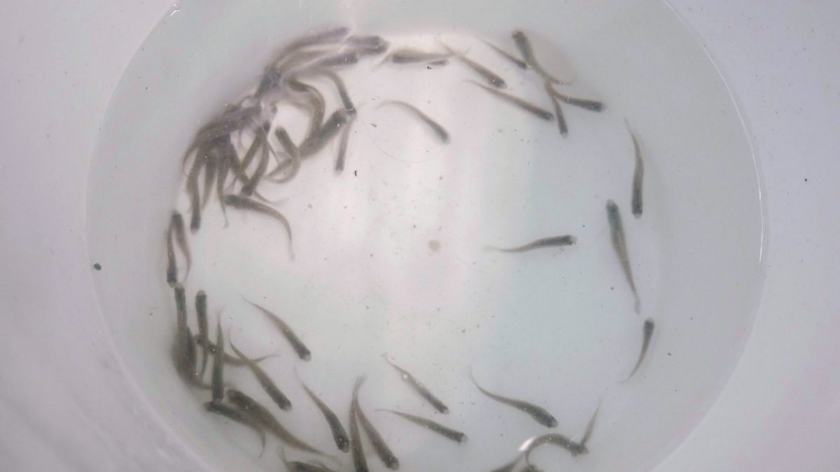 Juvenile Barrens Topminnows wait in a bucket for relocation to a release site.