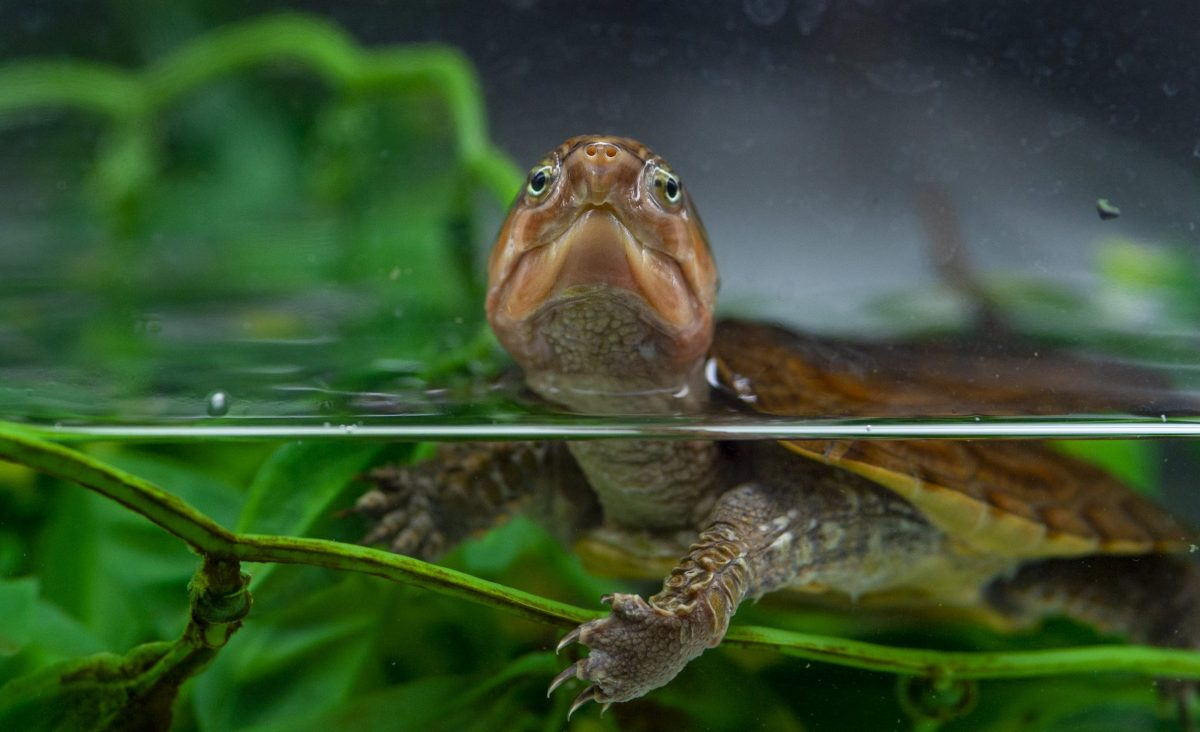 Chinese Bigheaded Turtle in the Turtle Nursery