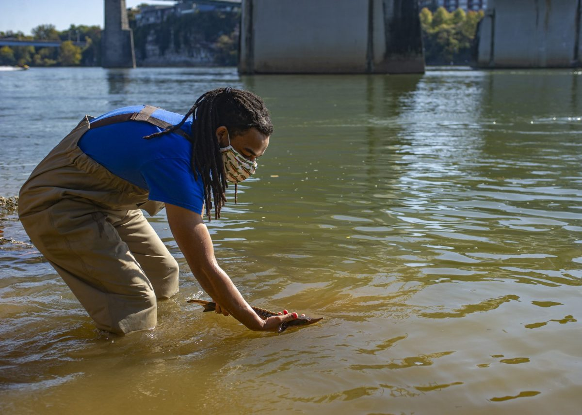 A volunteer at the Conservation Institute releases a juvenile Lake Sturgeon into the Tennessee River.
