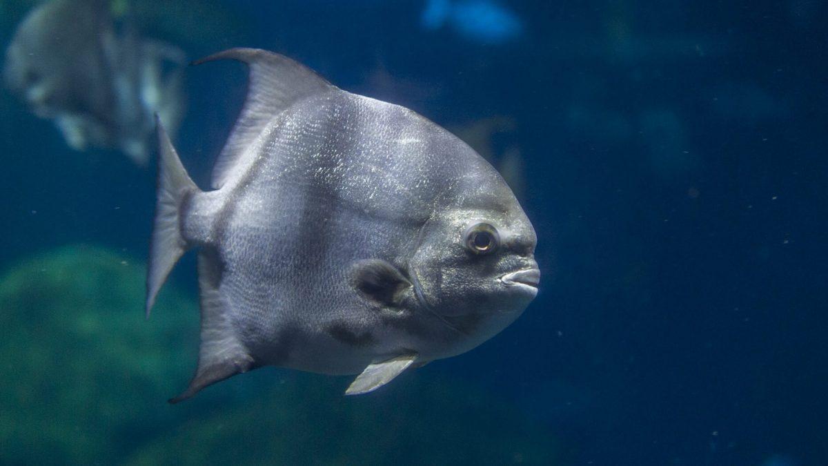 Adult Spadefish swim in the Secret Reef exhibit