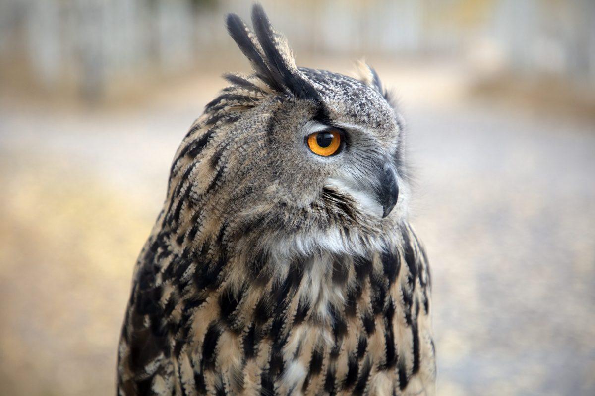 An Eagle Owl displays its piercing eyes in Pando, Utah.