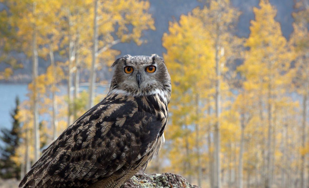 An Eagle Owl stares into the camera in Utah's Pando Aspen Grove