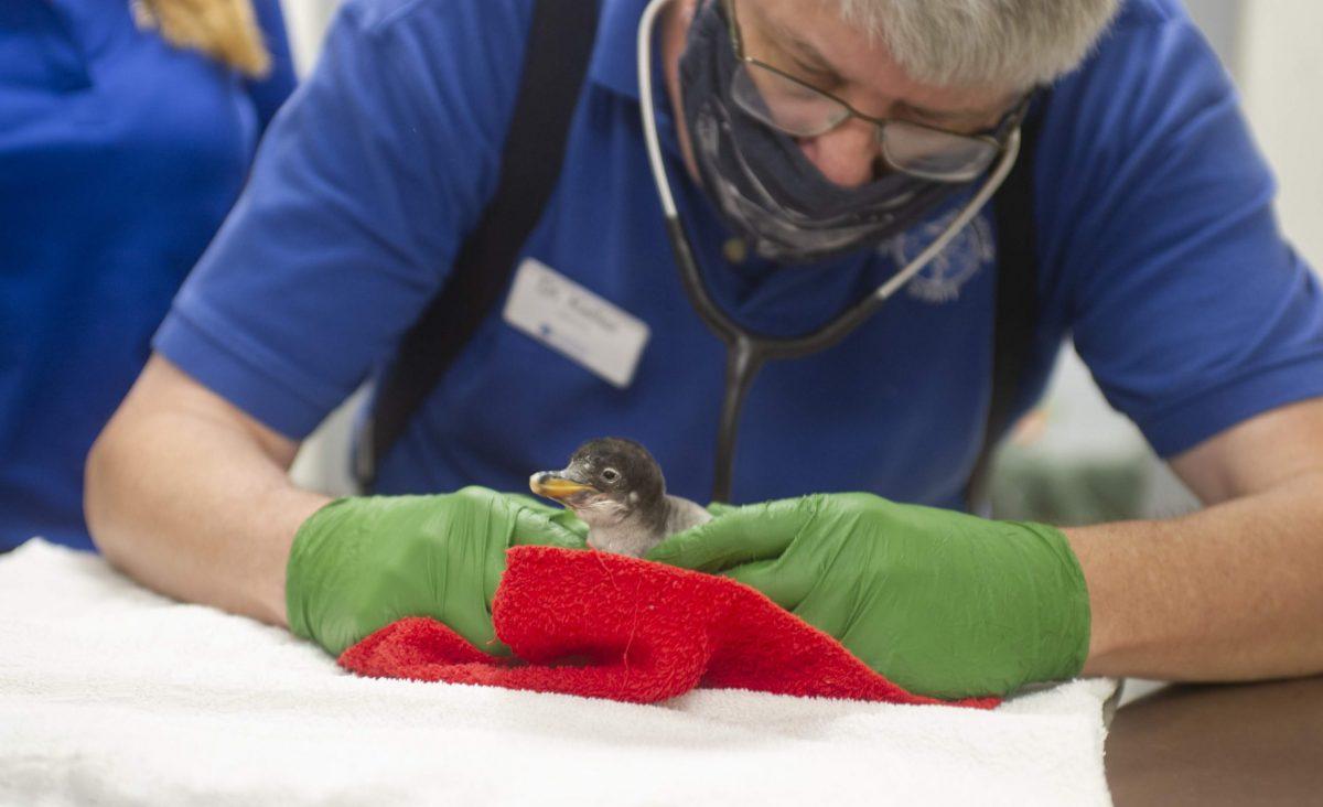 Dr. Chris Keller examines a Gentoo Penguin chick as part of a regular weekly developmental checkup.