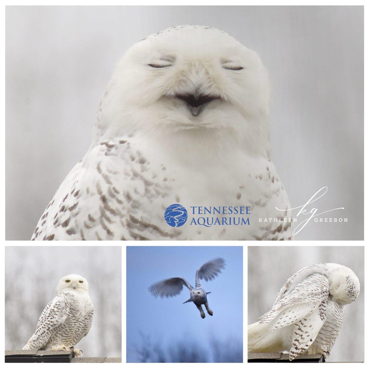 Snowy Owl photos by Kathleen Greeson