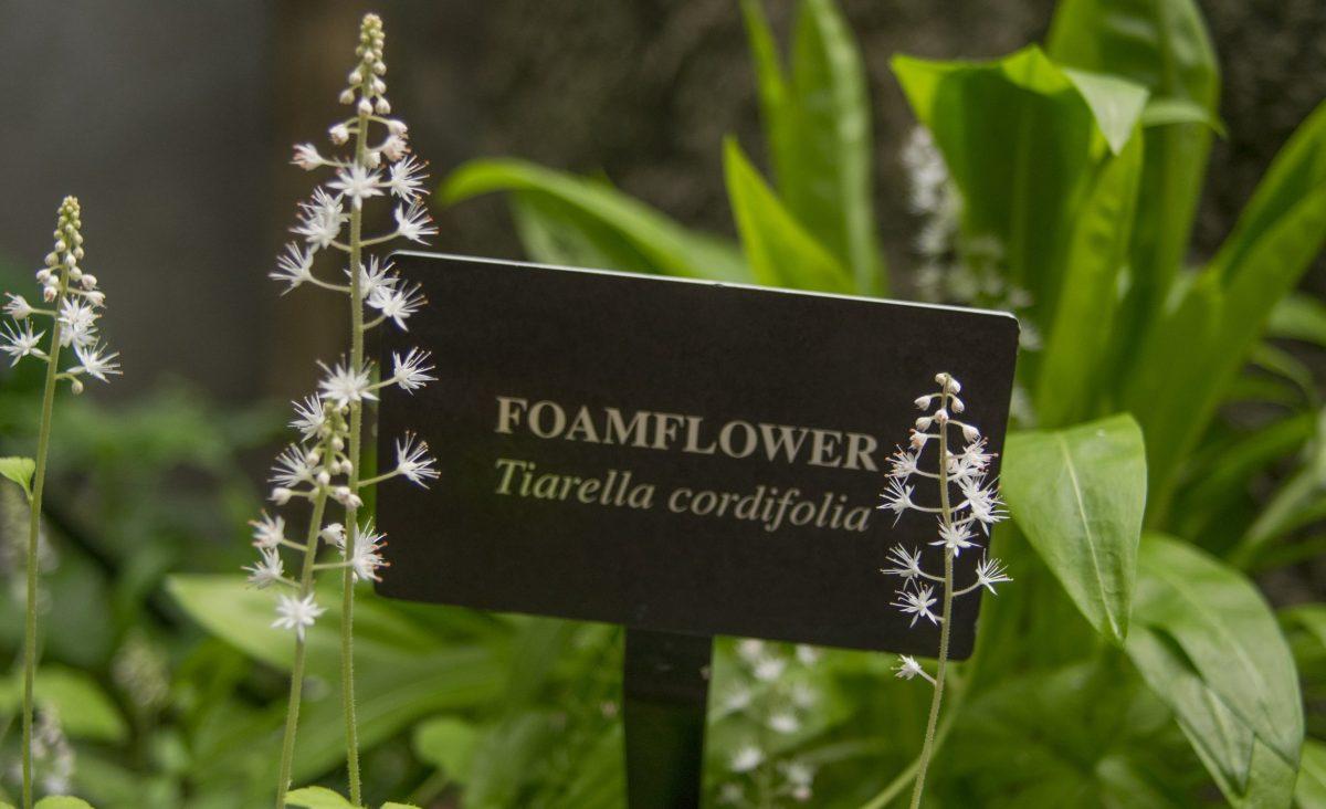 Foamflower blooms in the Appalachian Cove Forest