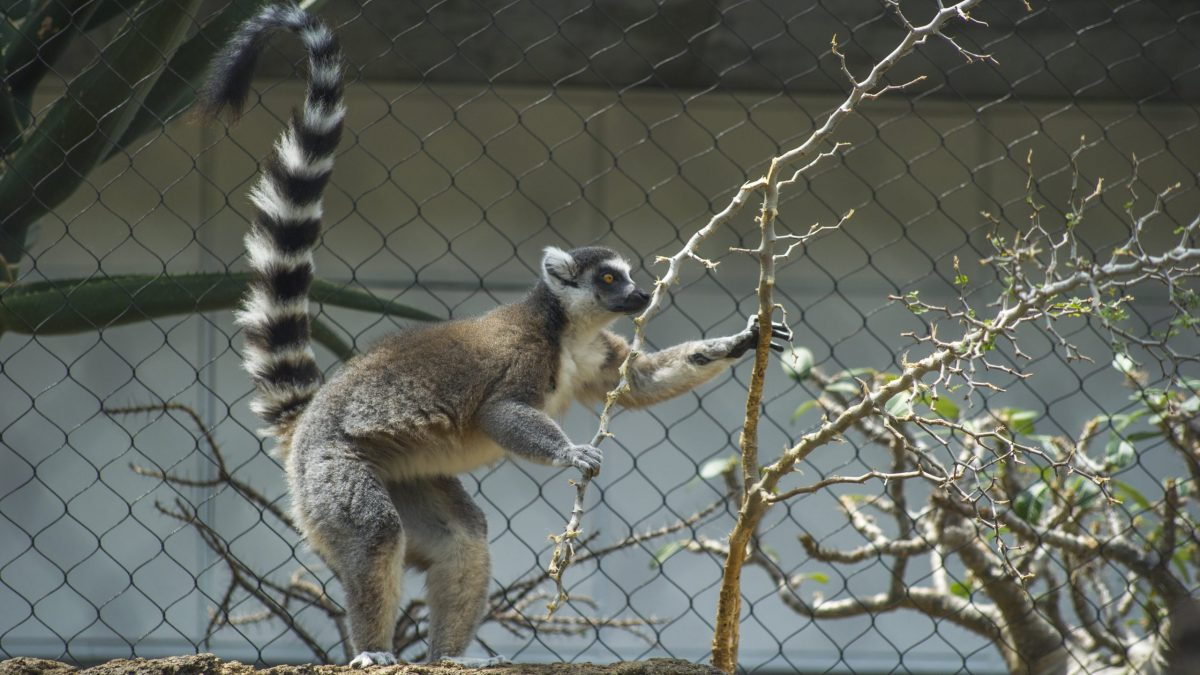 Ring-tailed Lemur snacking on plants in Tropical Cove gallery