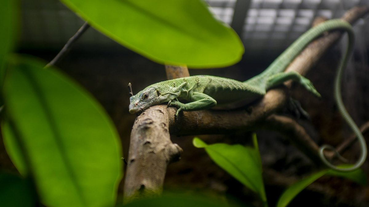 Emerald Tree Monitor relaxing on branch