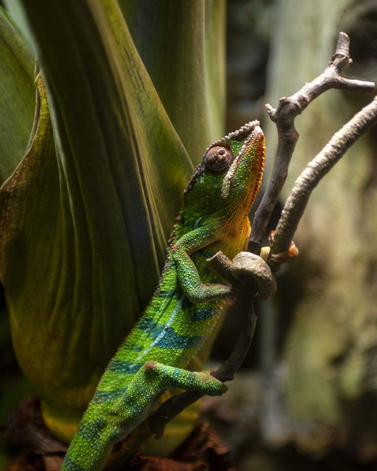 Panther Chameleon crawling up a branch