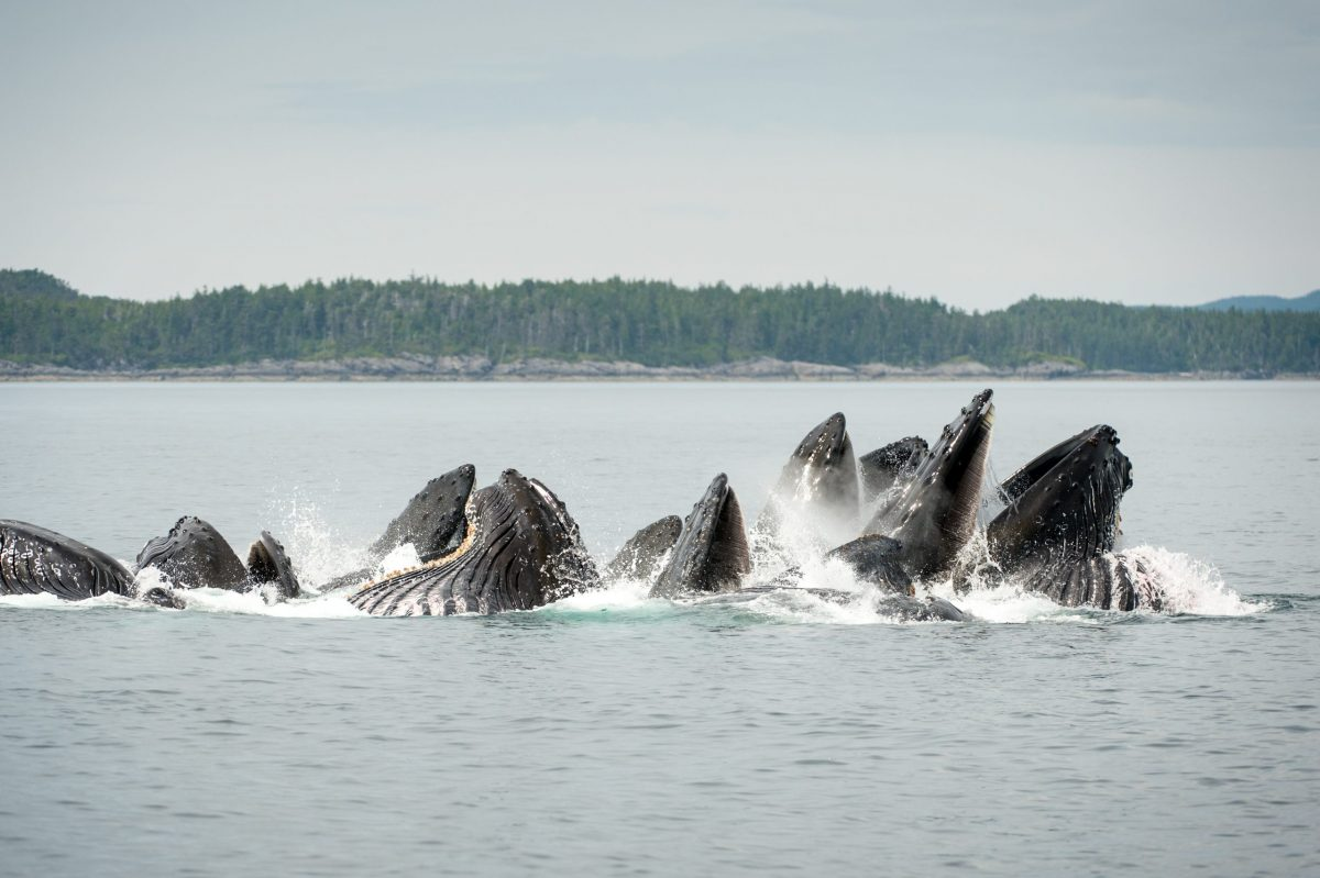 group of Humpback Whales breeching in the ocean