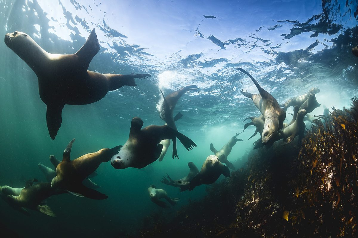 group of seals diving underwater