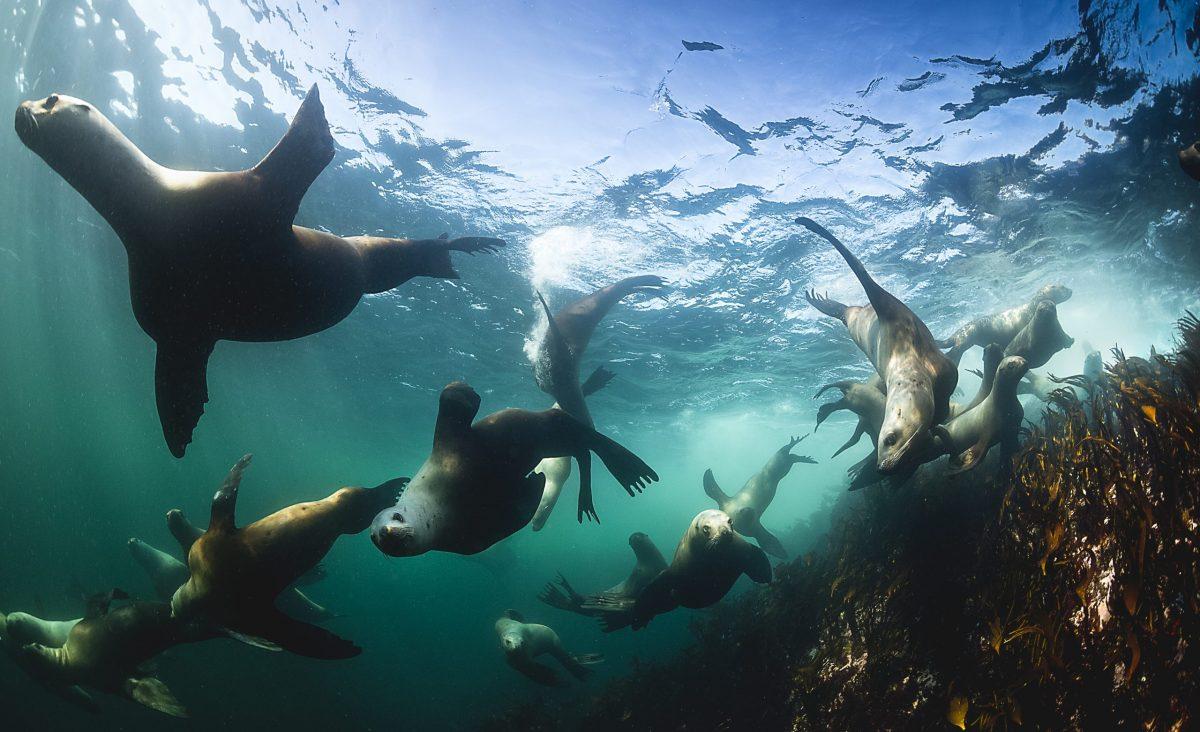group of seals diving underwater