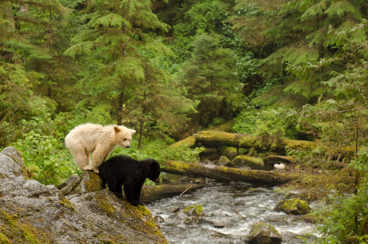 a black bear cub and white bear cub standing on a riverbank