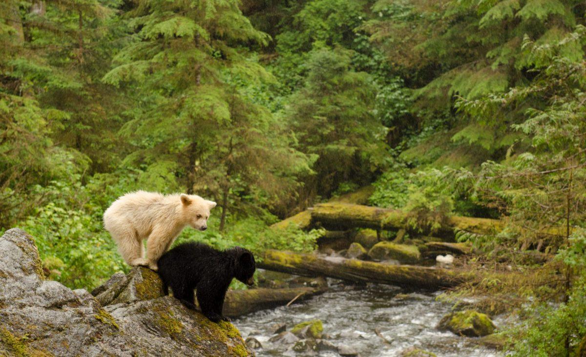 a black bear cub and white bear cub standing on a riverbank