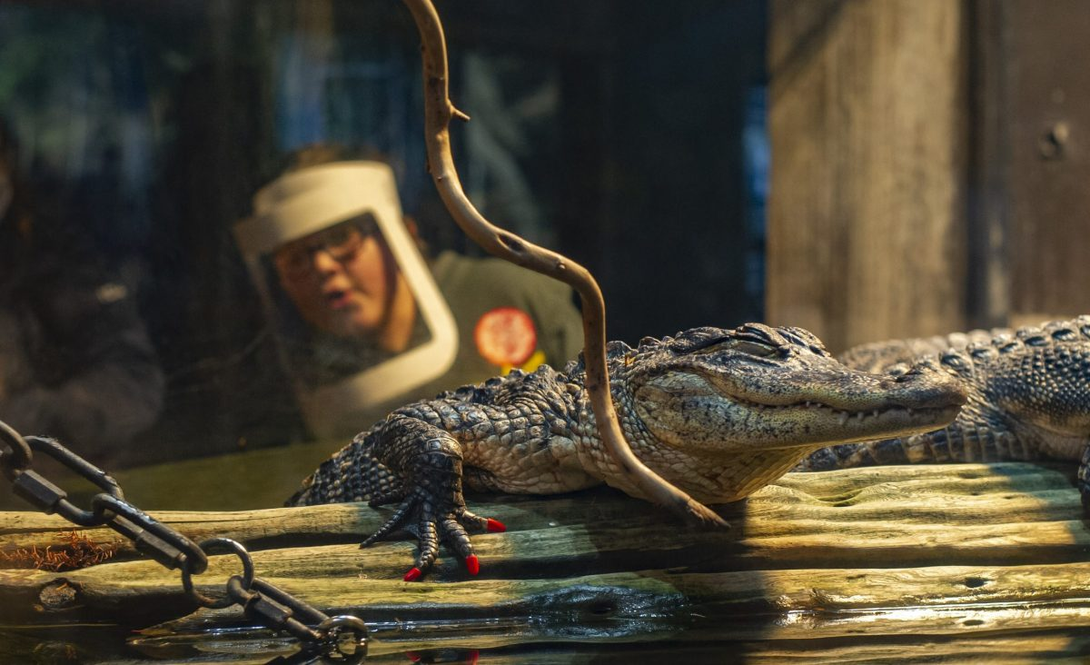 A guest, wearing a face shield, viewing alligators in the Delta Country gallery