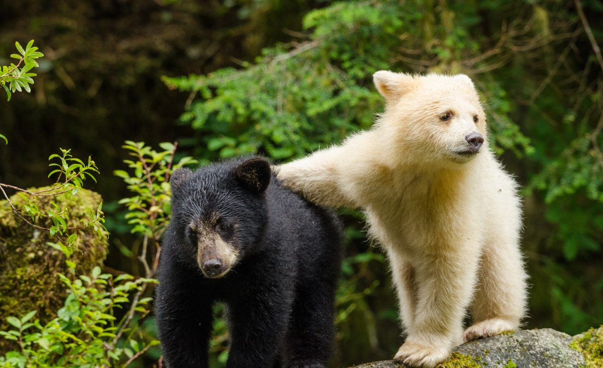 black bear cub standing beside white bear cub