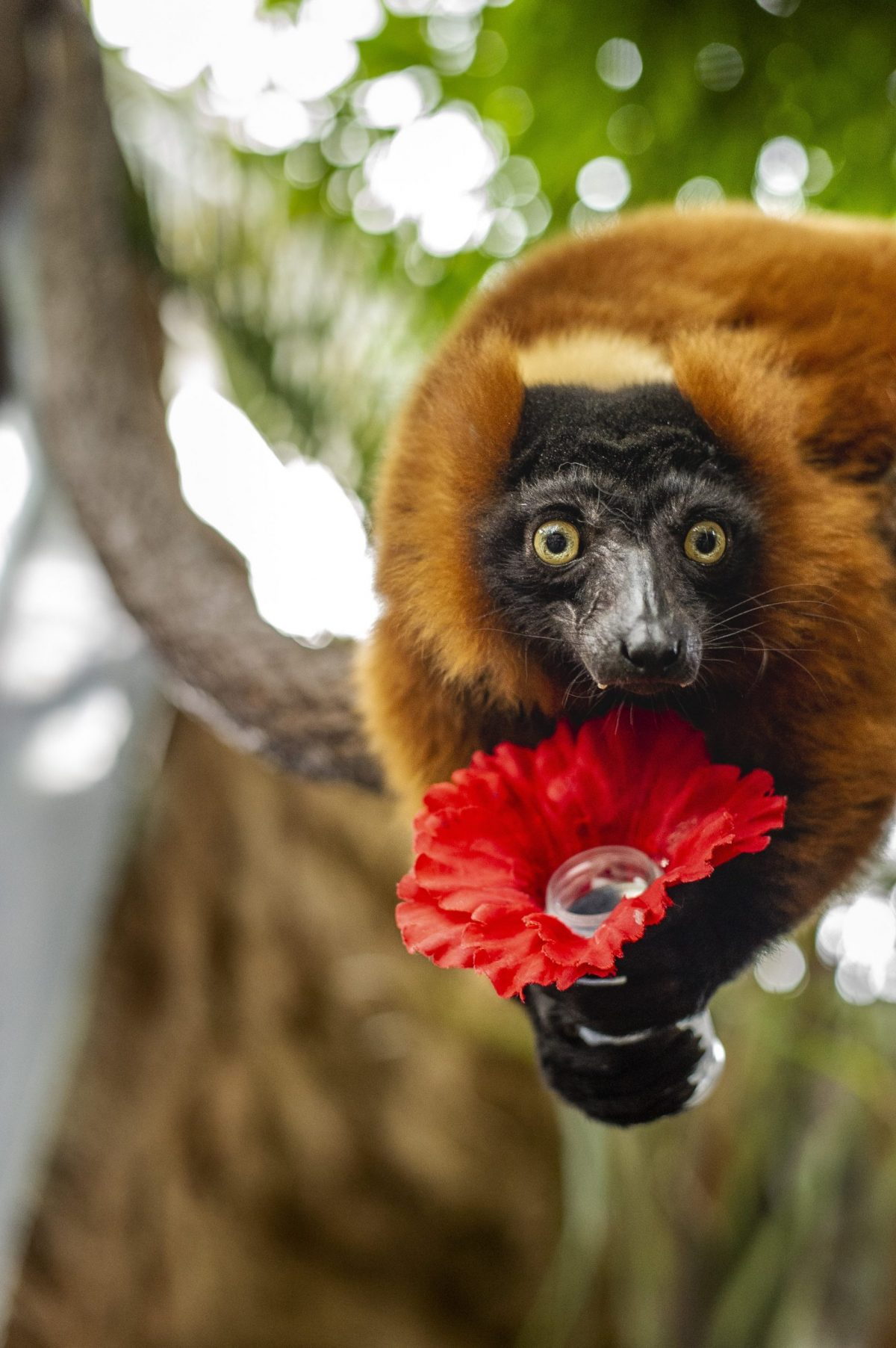 Red-ruffed Lemur Josephine holds a nectar-filled artificial flower during an enrichment activity.