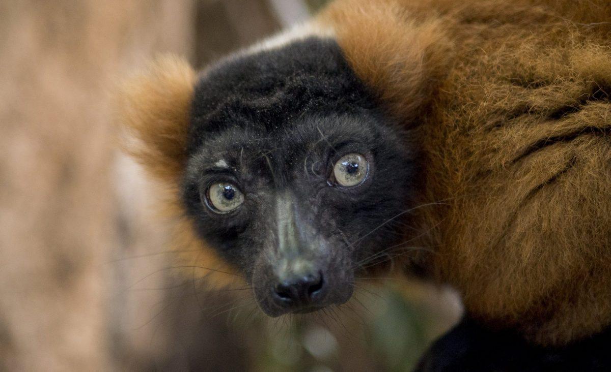Red-ruffed Lemur Josephine looks over her shoulder
