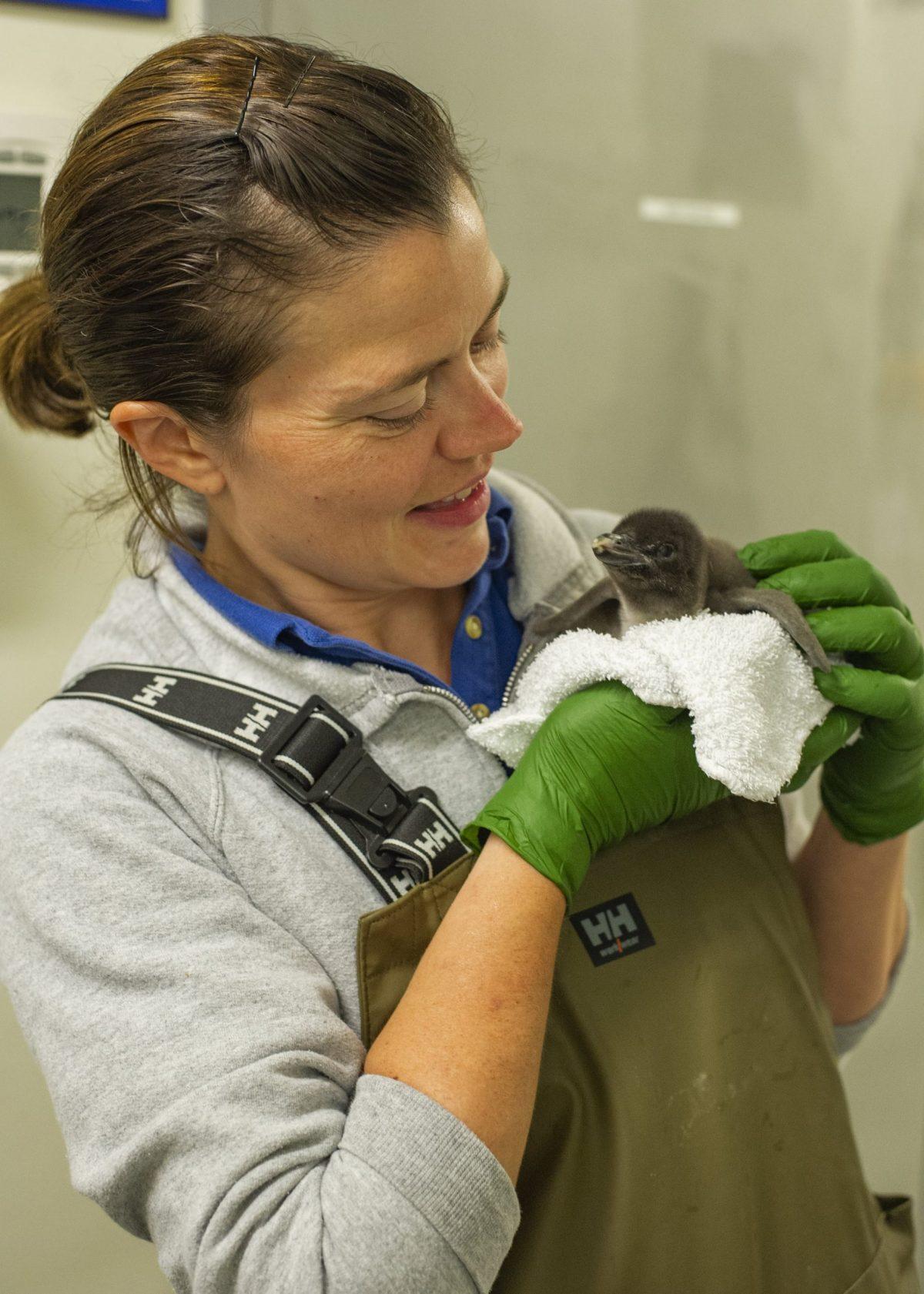 Senior Aviculturist Loribeth Lee holds a Macaroni Penguin chick.