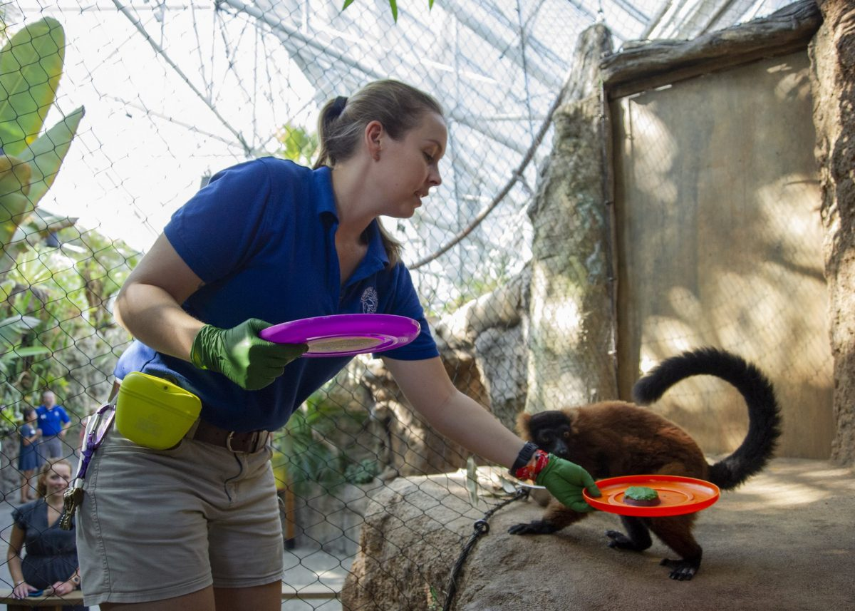 Animal Care Specialist Maggie Sipe delivers a birthday cake to Red-ruffed Lemur Josephine
