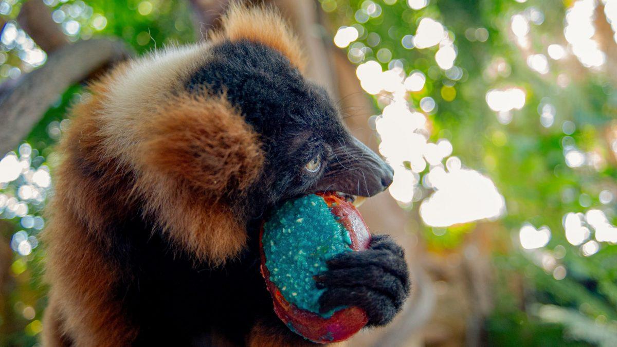 Red-ruffed Lemur Josephine eats her birthday cake on her 18th birthday