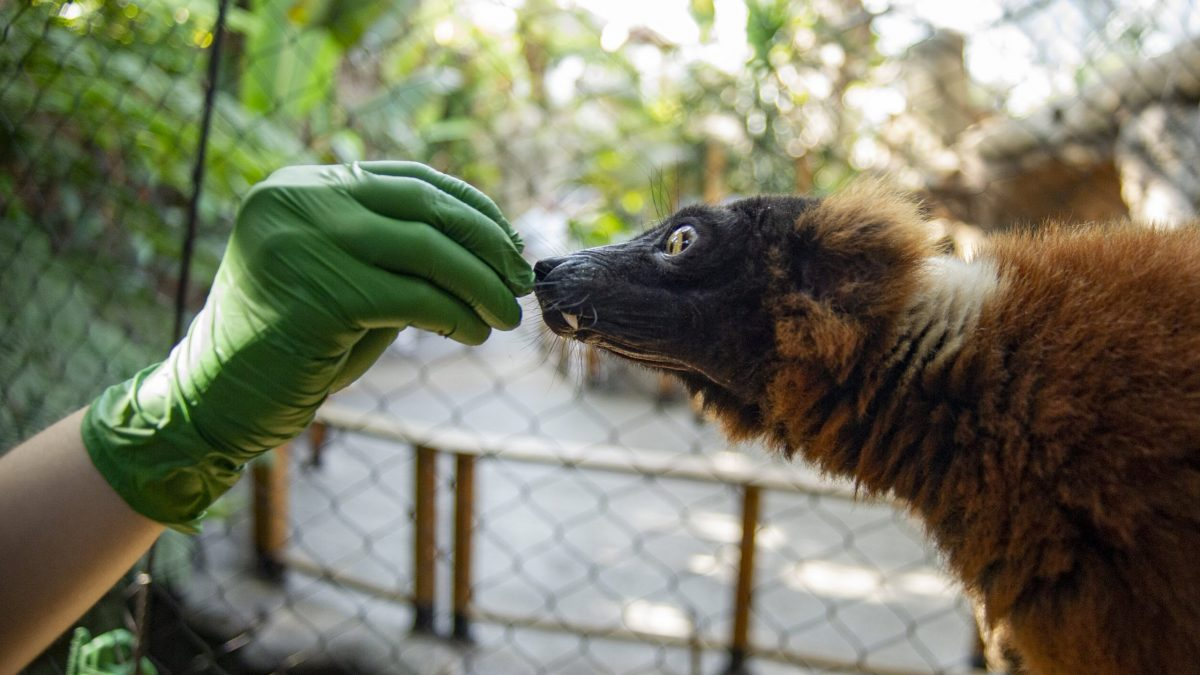 Animal Care Specialists offer a treat to Red-ruffed Lemur Josephine during an enrichment activity.