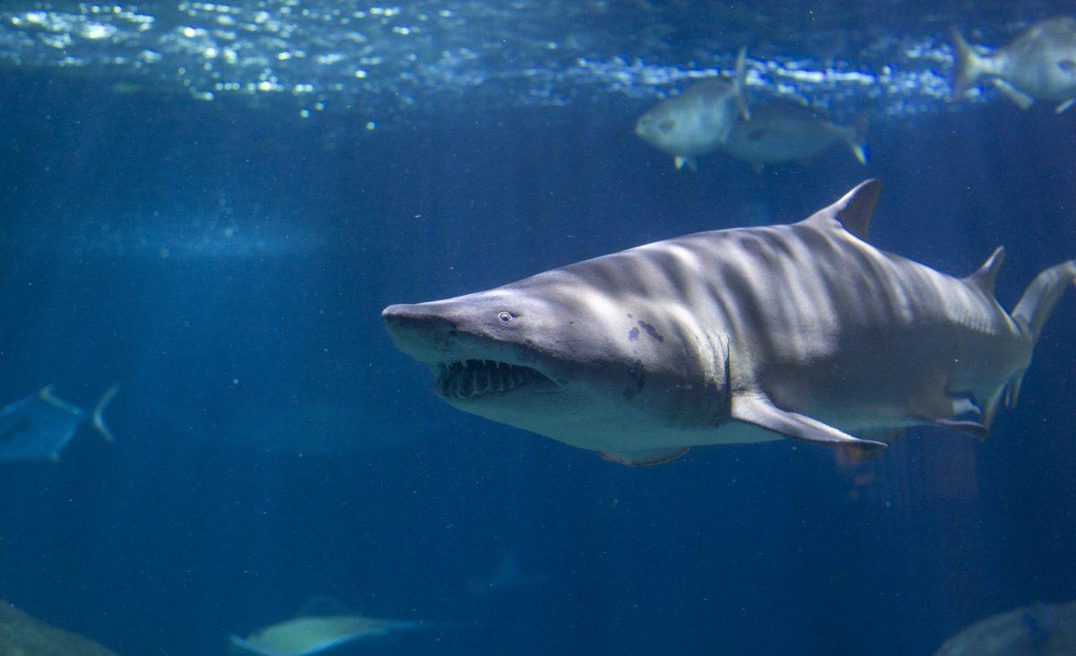 A Sand Tiger Shark swims through the Secret Reef habitat.