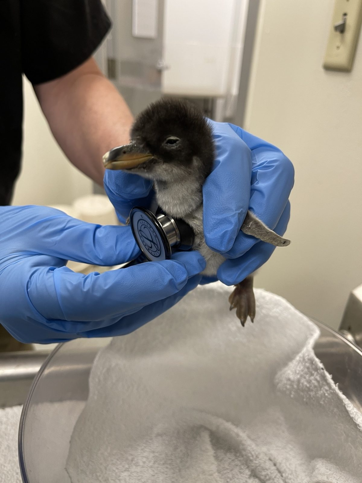 A Gentoo Penguin chick undergoes a routine veterinary exam. Only a day old, it weighs 132 grams (about four ounces).