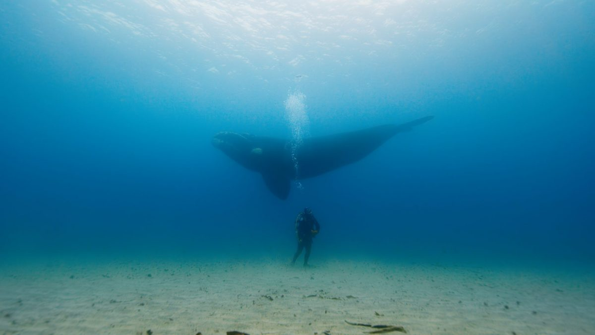diver with Southern Right Whale
