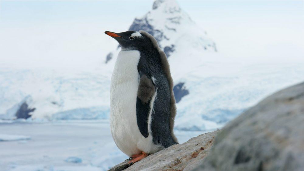 Young Gentoo penguin in Antarctica