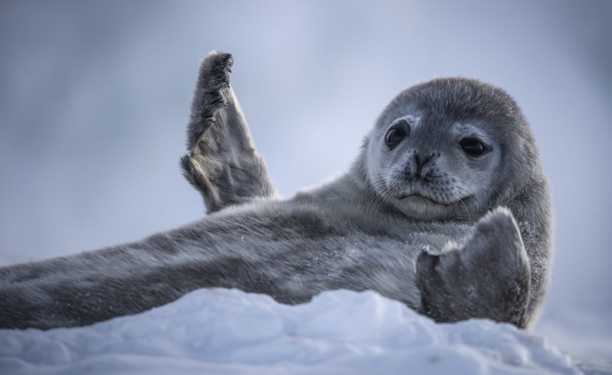 Weddell sea pup