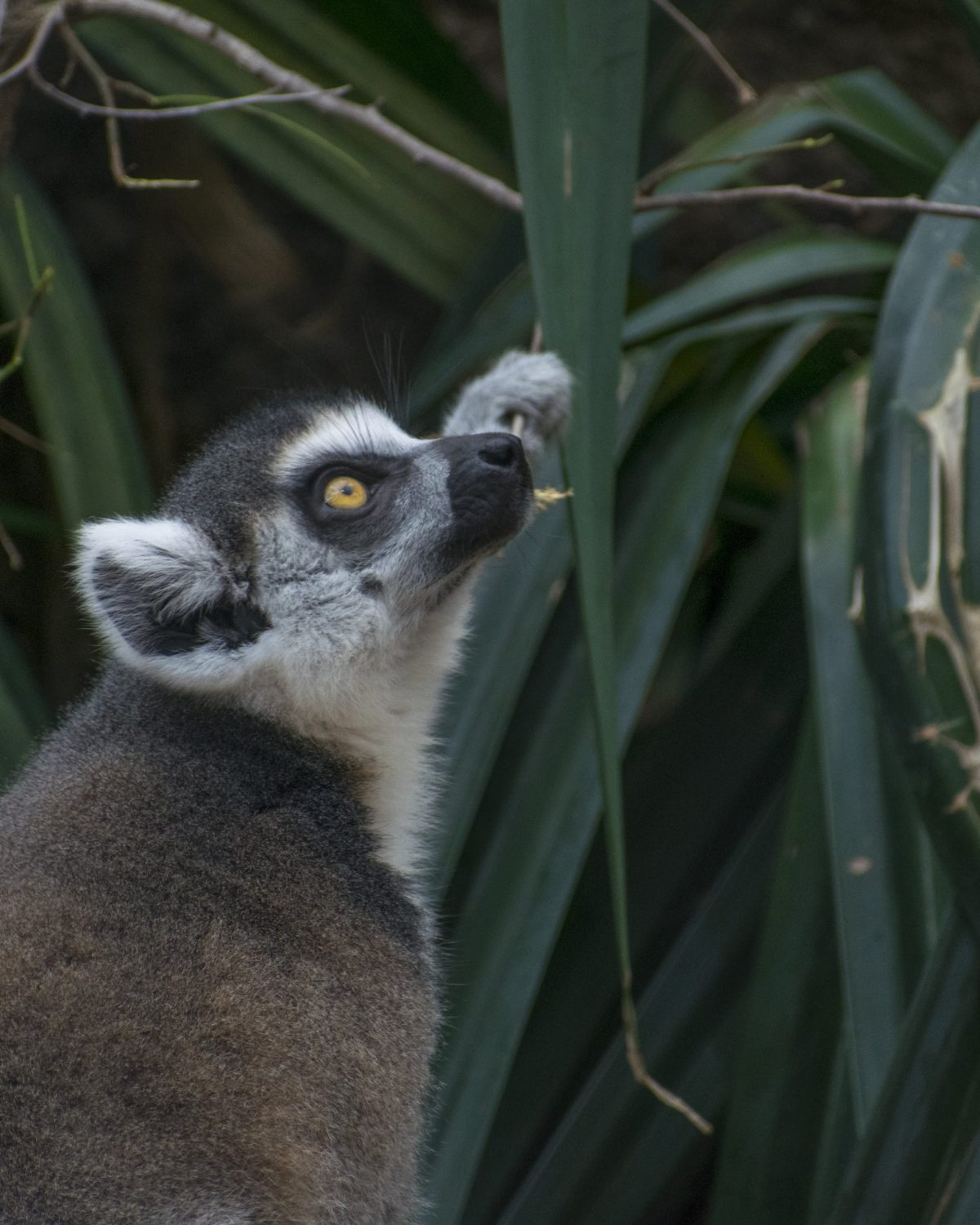 A Ring-tailed Lemur grasps a plant in the Lemur Forest exhibit