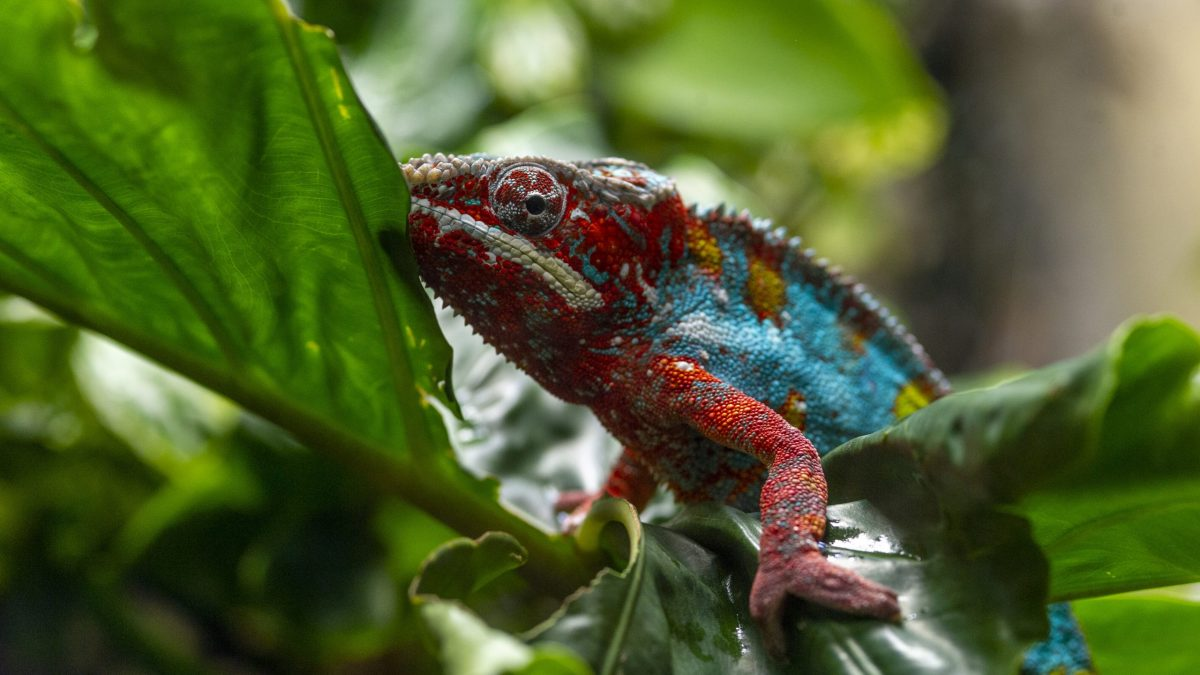 A Panther Chameleon navigates up a branch in the Island Life gallery