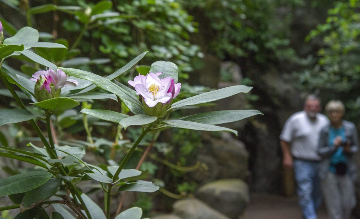 A Rhododendron blooms in the Appalachian Cove Forest gallery