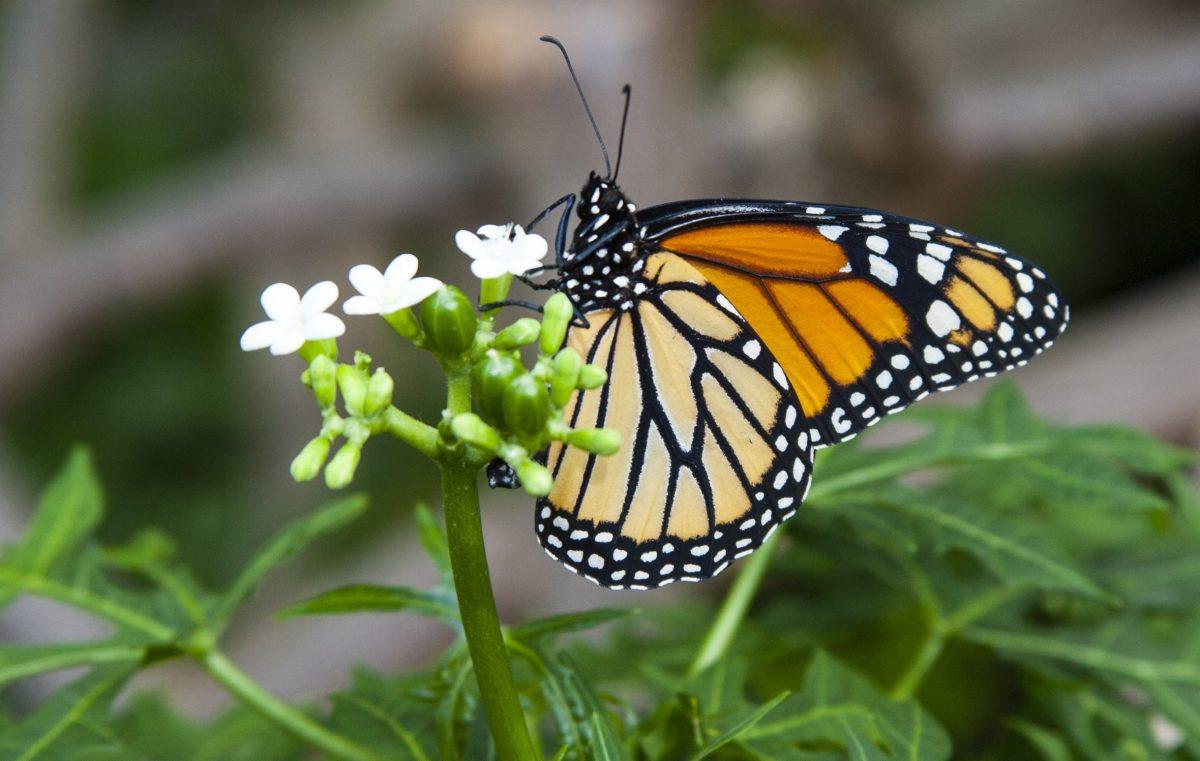 monarch butterfly feeding on nectar plant